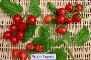 Томат черный принц — характеристика томата и советы как вырастить особый сорт помидор (125 фото)