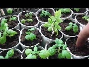 Как вырастить малину из семян в домашних условиях: правила посадки, уход