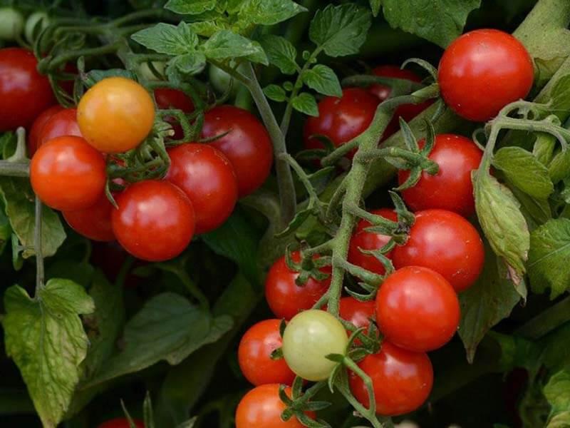 Мини-томаты рапунцель: в чем особенность сорта и как его выращивать?