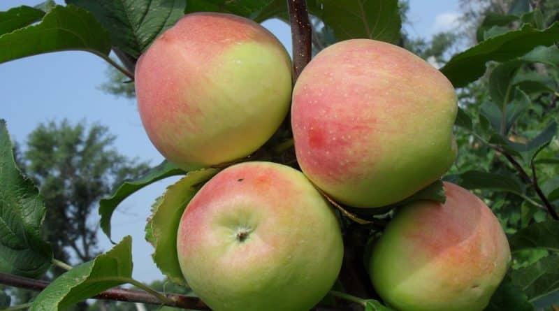 Яблоня летнее полосатое: описание сорта и его особенности, плюсы и минусы