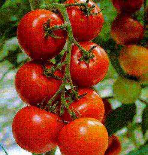 Томат гамаюн: характеристика и описание сорта, урожайность, фото