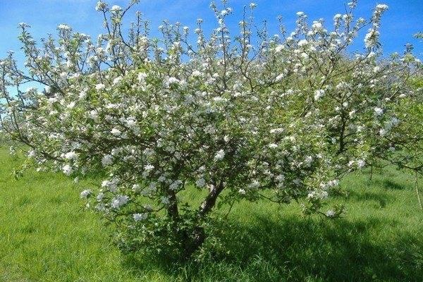 Вишня изобильная: описание и характеристики сорта, правила выращивания с фото