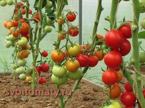 Популярный у садоводов среднеспелый яркий сорт томата — «яблочный спас»