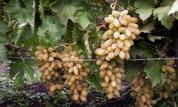 Описание винограда диксон