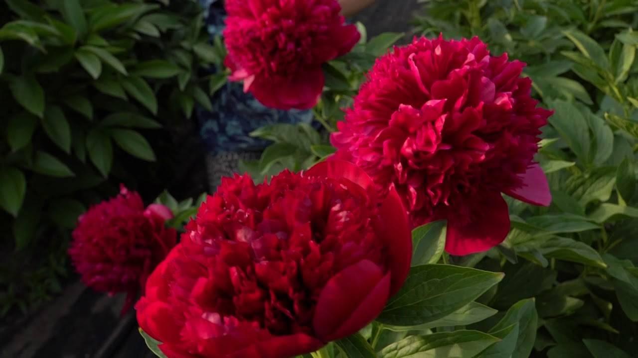Описание и характеристики пиона сорта Ред Чарм, выращивание и уход