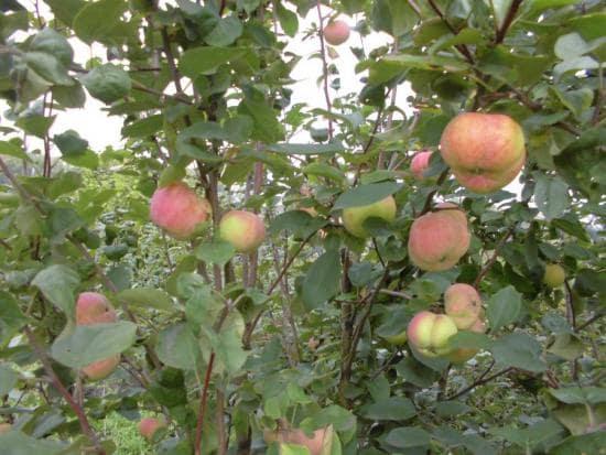 Сорта яблонь для урала: описание и фото