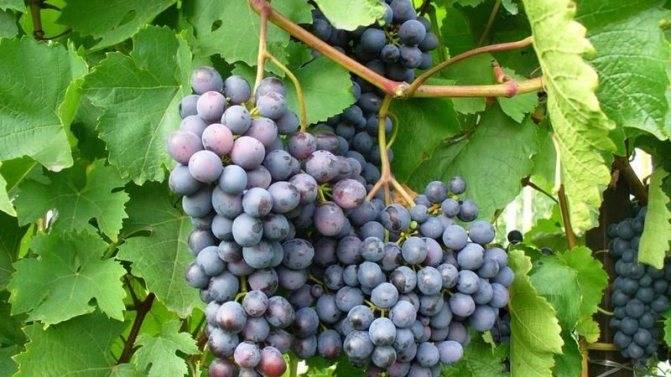 Практикум для начинающих виноградарей: проведение весенней обработки винограда от милдью, оидиума и других-прочих…