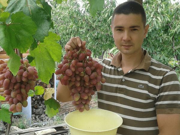 Описание сорта винограда преображение: преимущества недостатки и методы выращивания