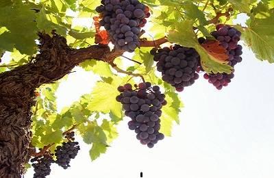 Чем подкормить виноград для роста и хорошего урожая подкормки весной, летом и осенью в зиму