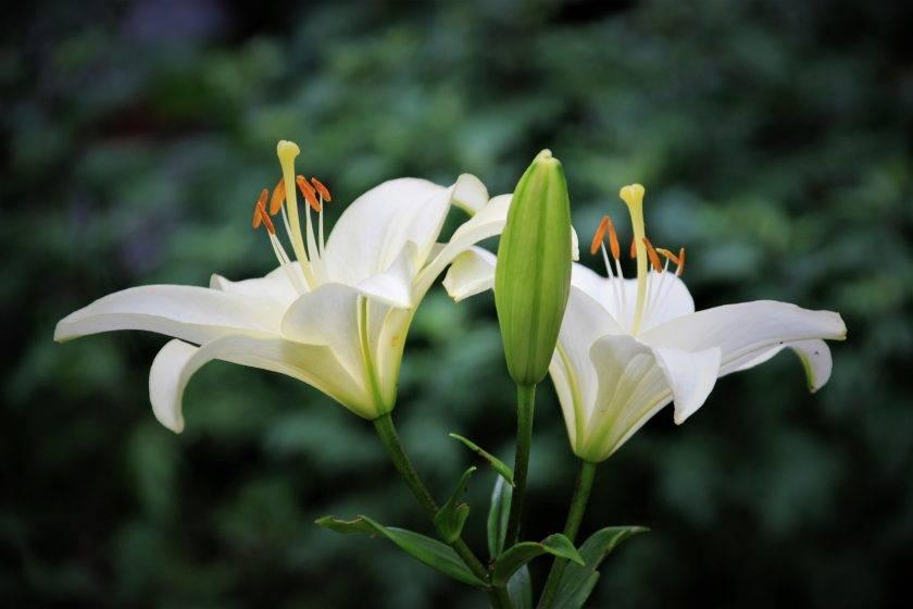 Когда и как правильно пересаживать лилии?