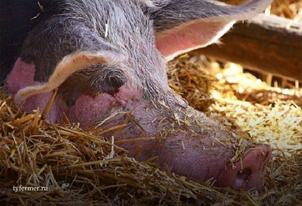 Причины и симптомы рожи свиней, методы лечения и профилактики