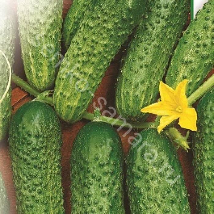 Огурец щедрик: описание сорта, выращивание, отзывы и фото