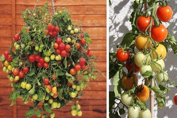 Характеристика и описание сорта томата семейный, его урожайность