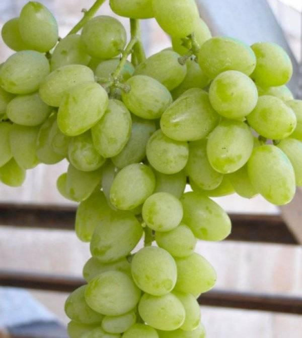 Выращивание белого столового сорта винограда тимур