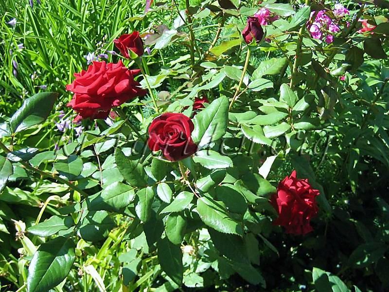 Самая надежная чайно гибридная роза. описание сорта розы «черная магия». правила выращивания, фото