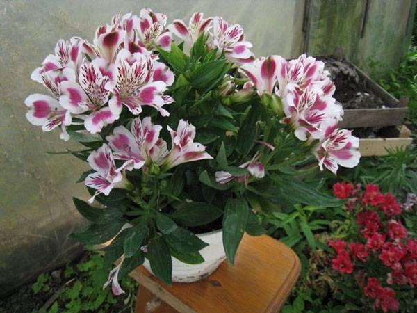 Растение альстромерия: правила посадки и ухода за цветком