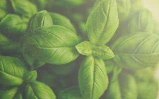 Как правильно выращивать и ухаживать за мятой в теплице