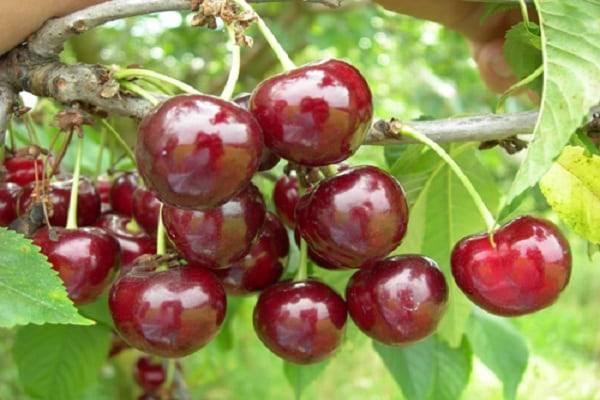 Описание сорта вишни субботинская