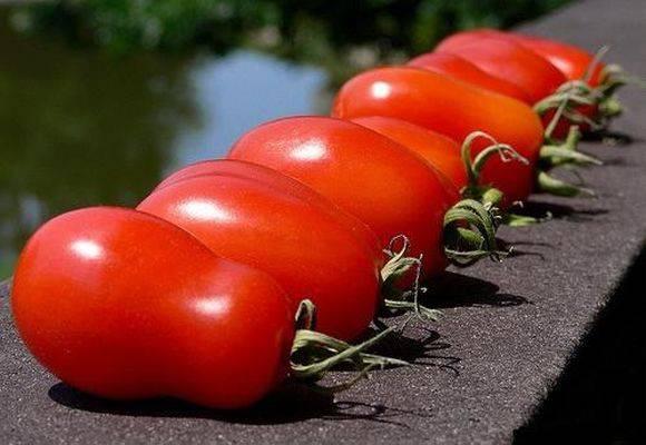 Помидоры петруша огородник: урожайность и особенности выращивания