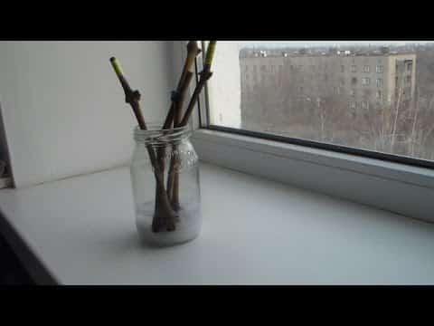 Простой способ укоренения черенков яблони зимой в домашних условиях