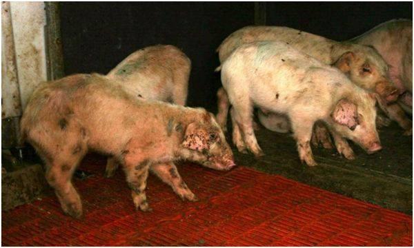 Пастереллез свиней: симптомы и лечение