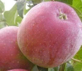 Маленькая, да удаленькая яблоня алтайская багряная