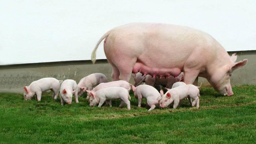 Самая большая в мире свинья: рекордный вес животных, крупные породы