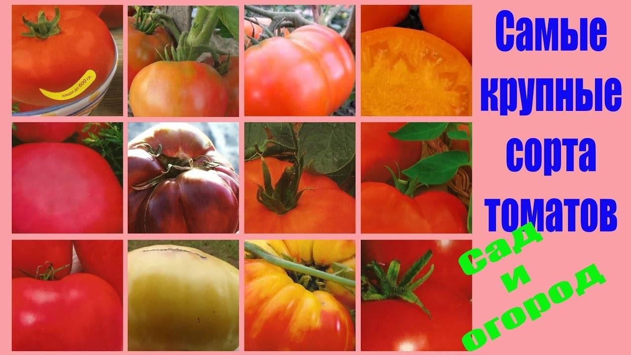 Подарок для любителей овощей — томат русский богатырь: описание сорта и его характеристики