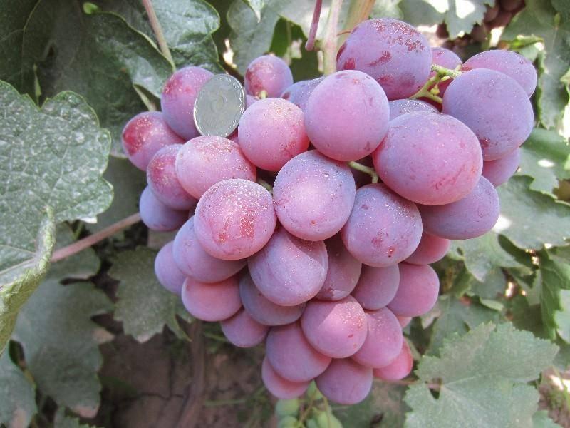 Виноград сорта низина – неприхотливый сорт с крупными ягодами