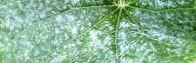 Белые пятна на огурцах: почему появляются и что с этим делать? (52 фото)