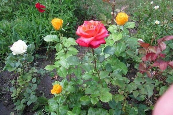 Чайно-гибридная роза керио: фото, описание, условия содержания