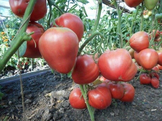 Сорт томата «оля f1»: описание, характеристика, посев на рассаду, подкормка, урожайность, фото, видео и самые распространенные болезни томатов