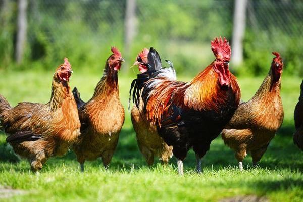 Как петухи оплодотворяют куриц: тонкости процесса