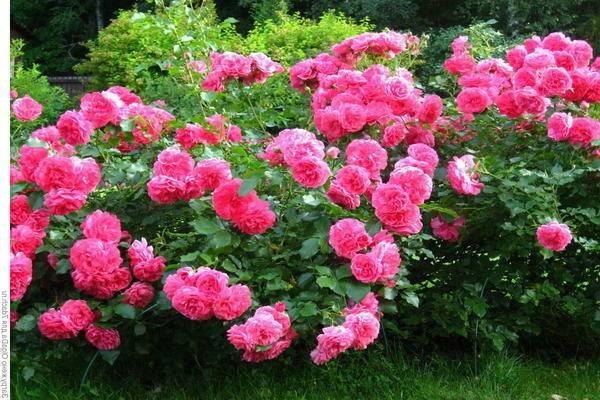 Роза плетистая «розариум ютерсен»: описание, фото, отзывы и как обрезать розу