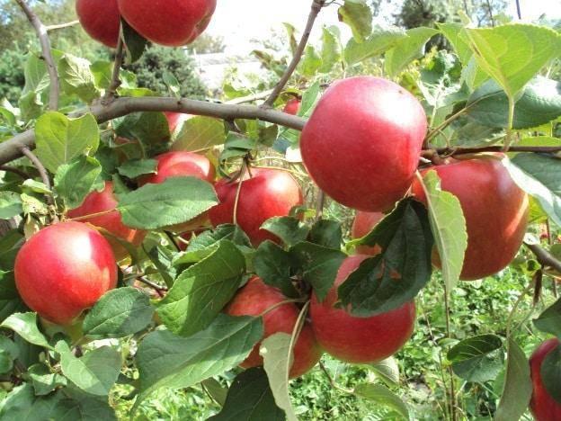 Иммунная к парше яблоня веньяминовское: описание, фото