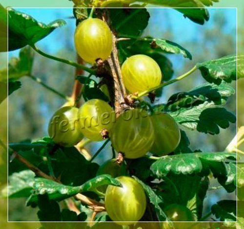 Лучшие представители разных сортов вишни