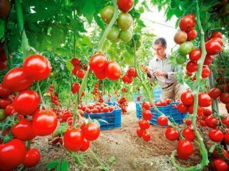 Лучшие сорта томатов для открытого грунта в подмосковье