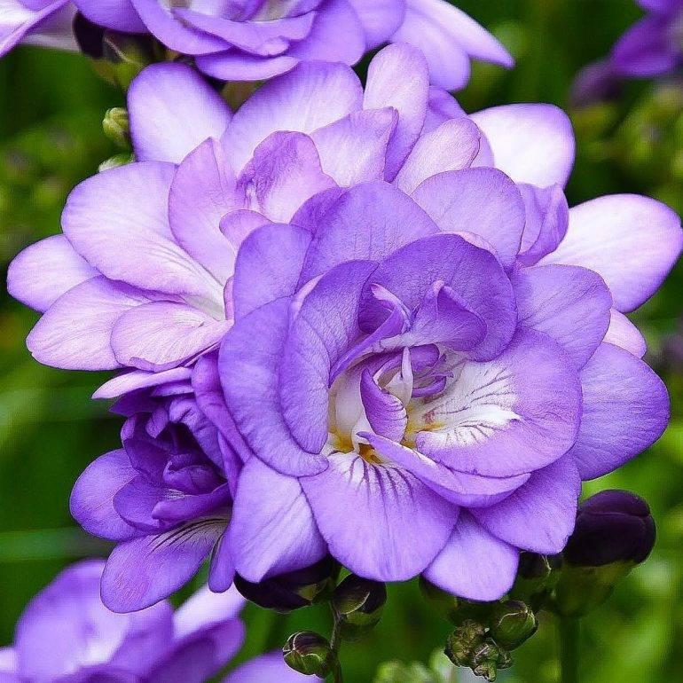 Фрезия: выращивание и уход в открытом грунте