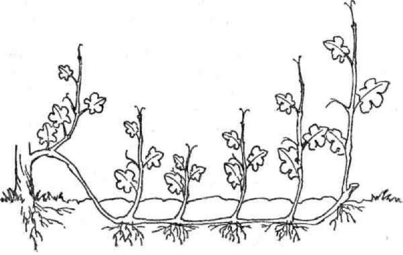 Размножение винограда черенками в домашних условиях — посадка и уход
