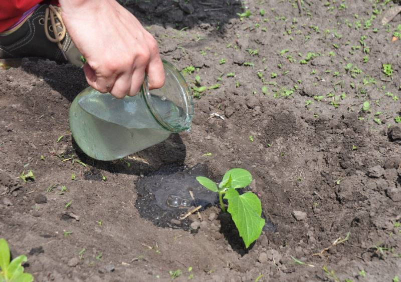 Как сажать огурцыв в открытый грунт в подмосковье