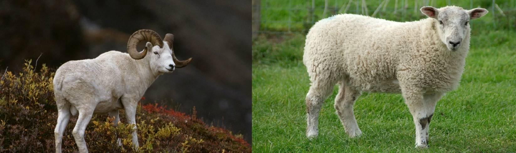 Описание и характеристика овец горьковской породы, правила их содержания