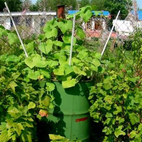 Пошаговое выращивание огурцов в бочке и уход за ними