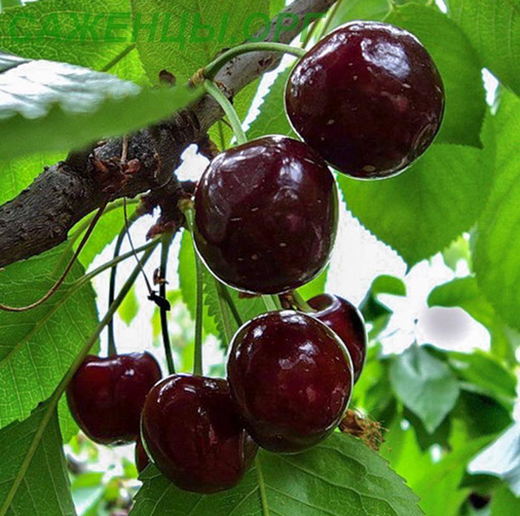 Привлекательная, вкусная и полезная вишня сорта чернокорка