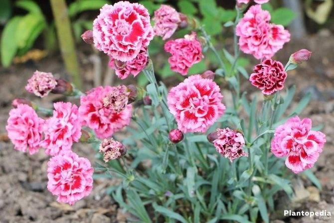 Хохлатка: фото цветка, описание, выращивание и рекомендации по уходу