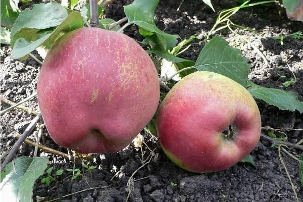 Описание сорта яблони приземленнное