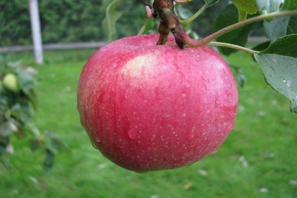 Лаборатория селекции яблони