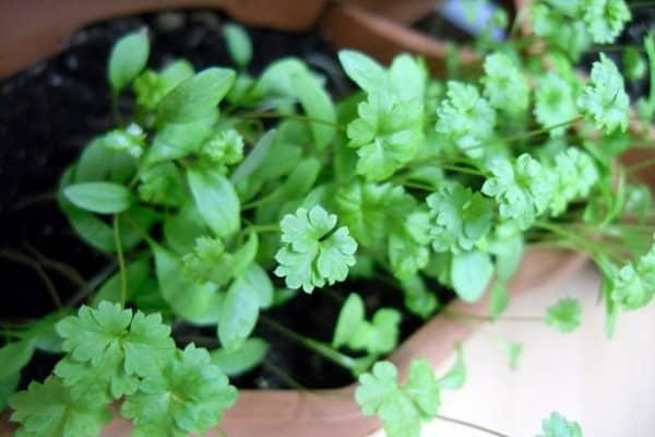 Зелень на подоконнике: выращивание в домашних условиях