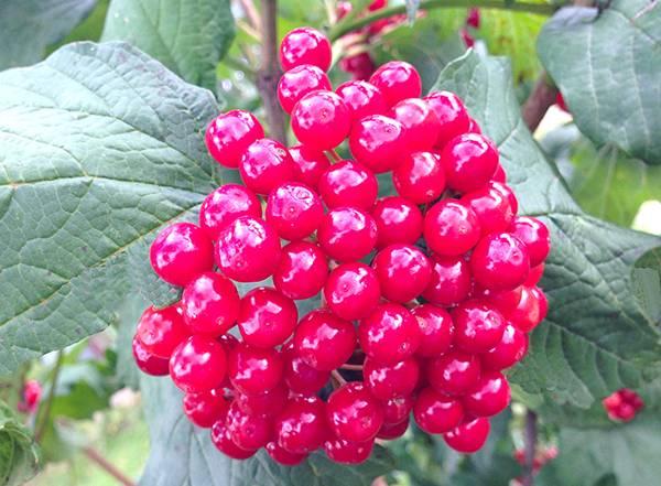 Калина красная – лучшие целебные народные рецепты от различных недугов, показания