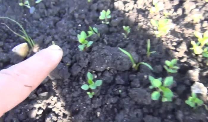 Гербицид для моркови после всходов