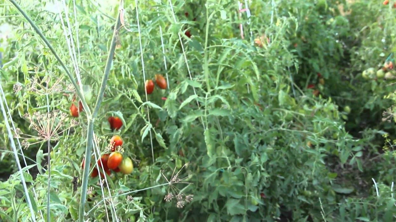 Рассада помидор в «улитках»